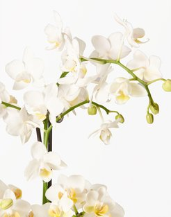 The Sill® White Orchid Plant in 5-Inch Hyde Earthenware Pot