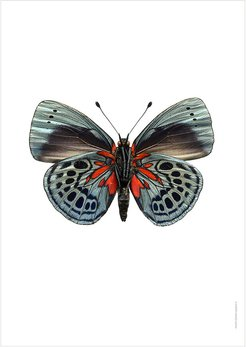 Butterfly Print - Asterope Leprieuri